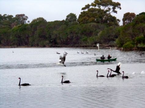 SWANS ON LAKE CURALO