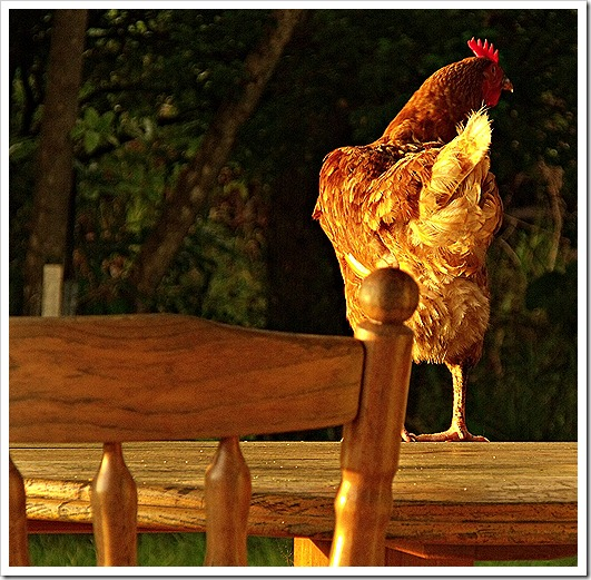 CHOOK COME HOME TO ROOST