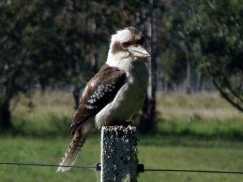 1 kookaburra